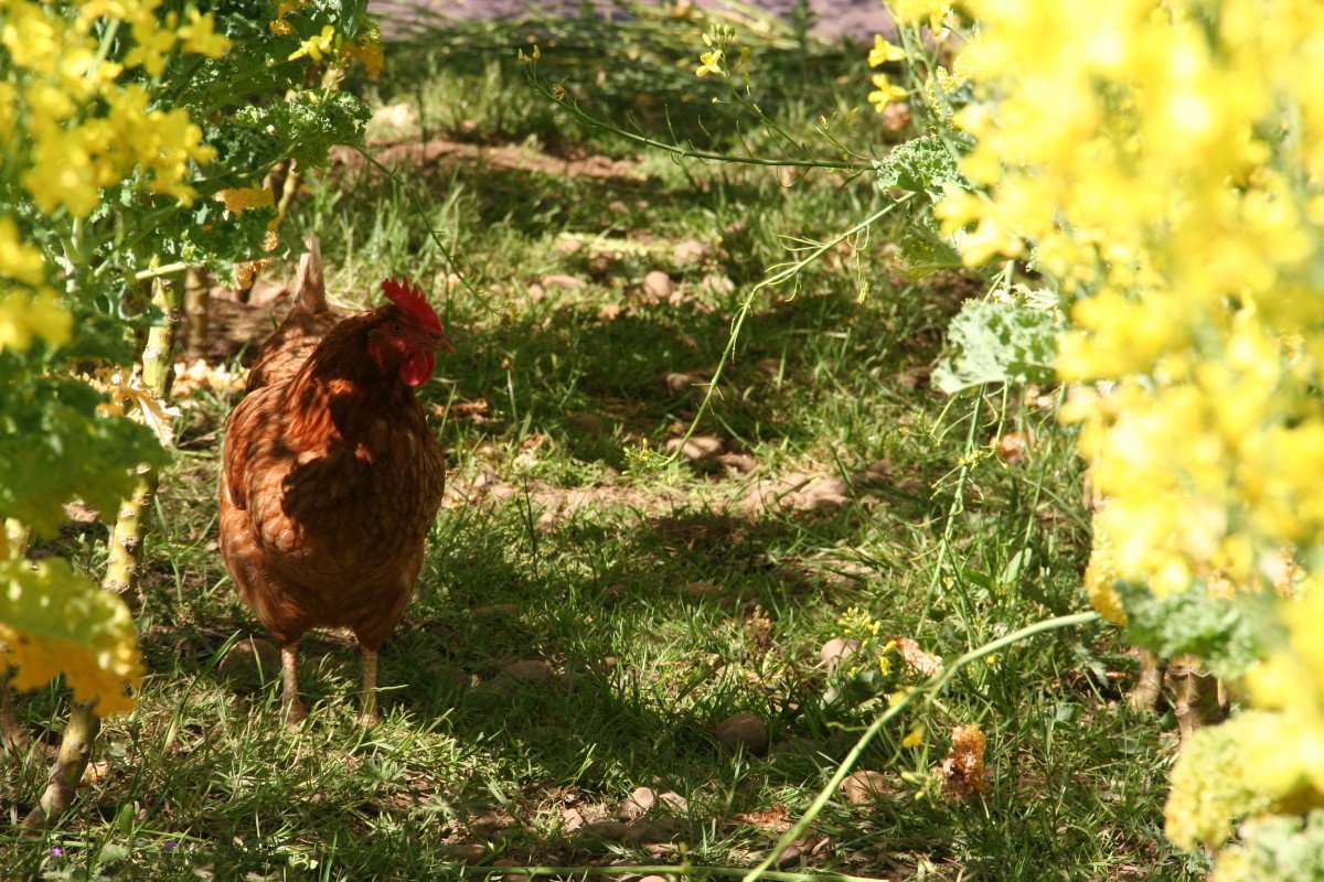 Farm chicken on Foodie Underground