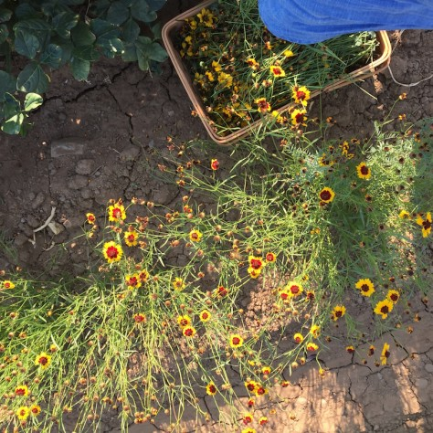 Planting a Dye Garden to Make Your Own Natural Dyes